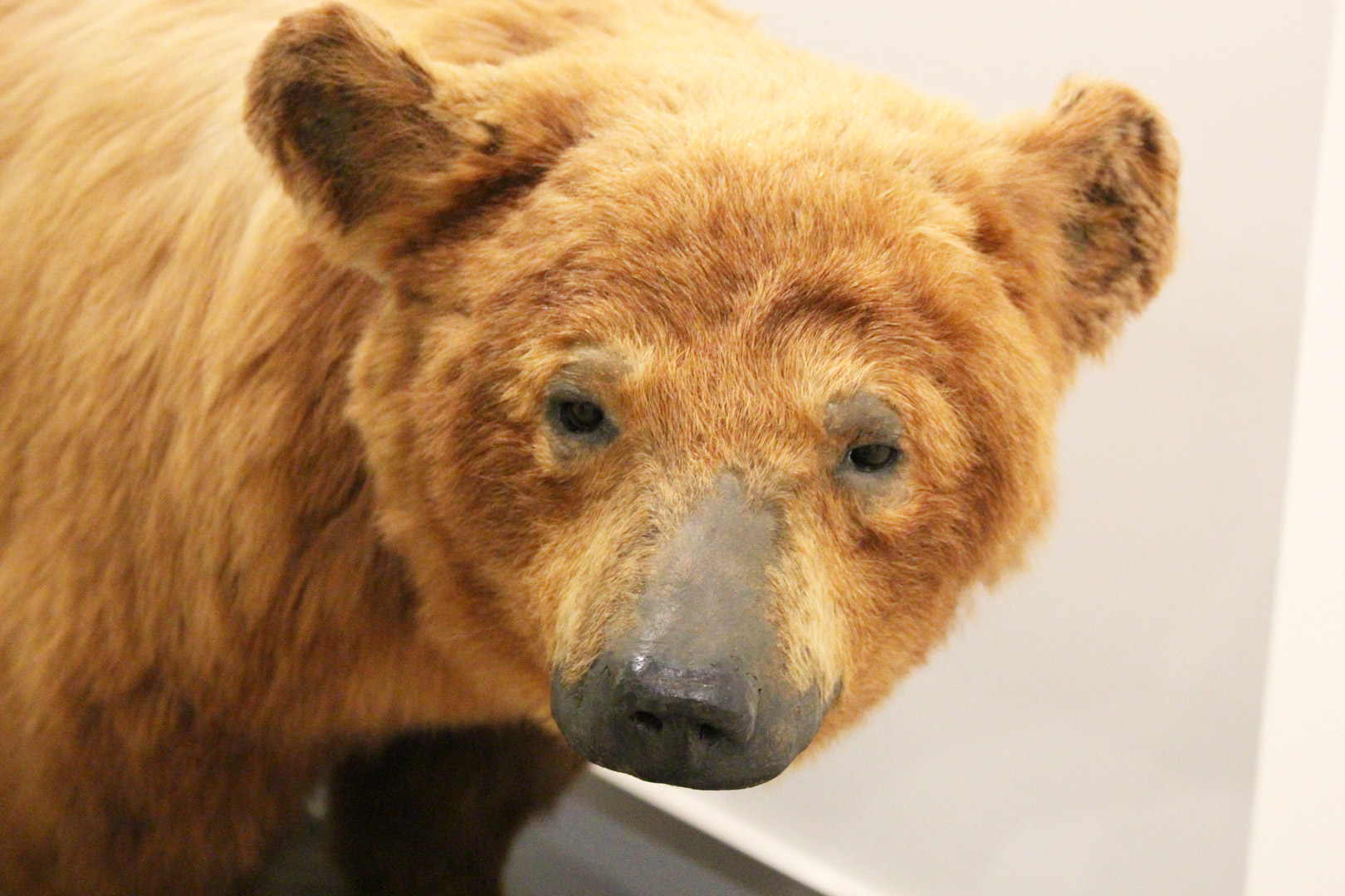 A bear specimen from the Canadian Museum of Nature's important mammal collection accompanies Marian Engel's novel, Bear.